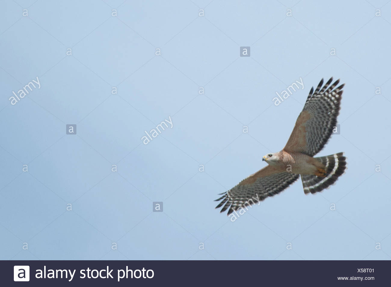 A red-shouldered hawk, Buteo lineatus, in flight. - Stock Image
