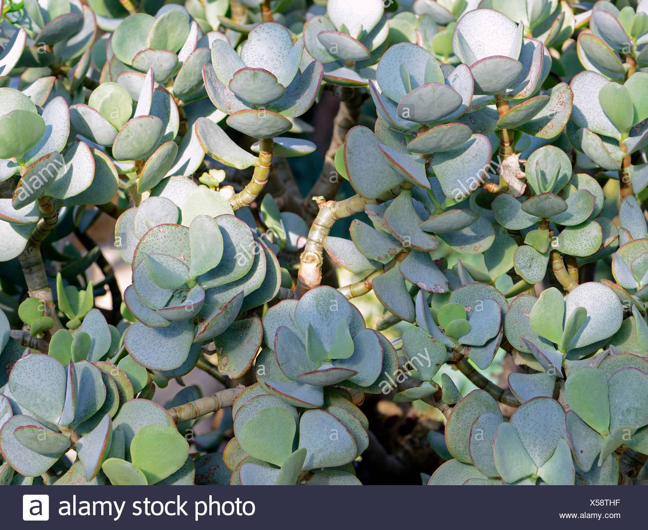 Baumartiges Dickblatt, Crassula arborescens, Suedafrika - Stock Image