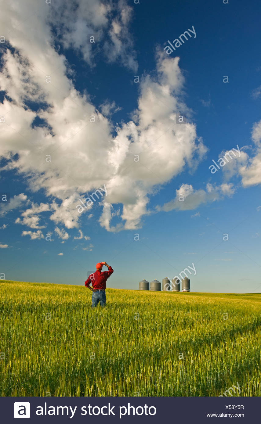 farmer looks out barley crop grain bins - Stock Image