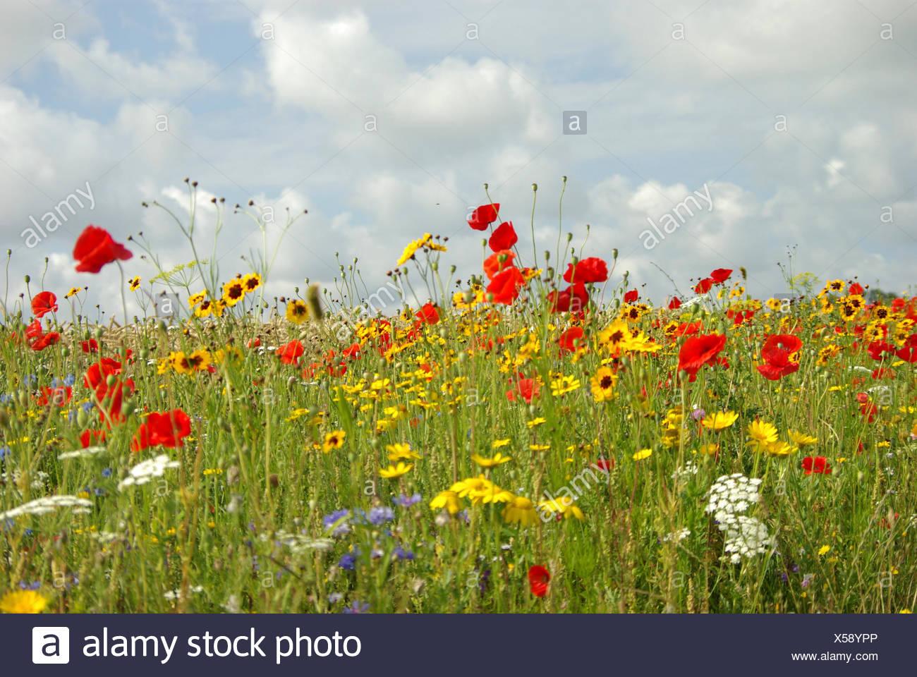 Cornflower like purple flowers stock photos cornflower like purple a meadow with different kinds of wild flowers like poppies german chamomile cornflower and mightylinksfo
