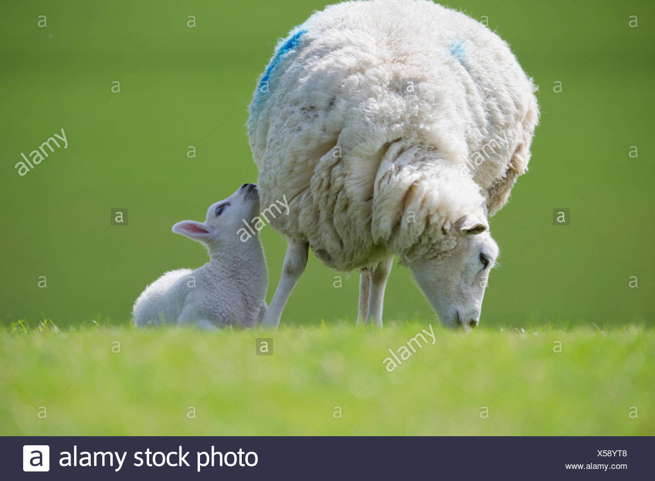 Lamb and grazing sheep in green spring field - Stock Image