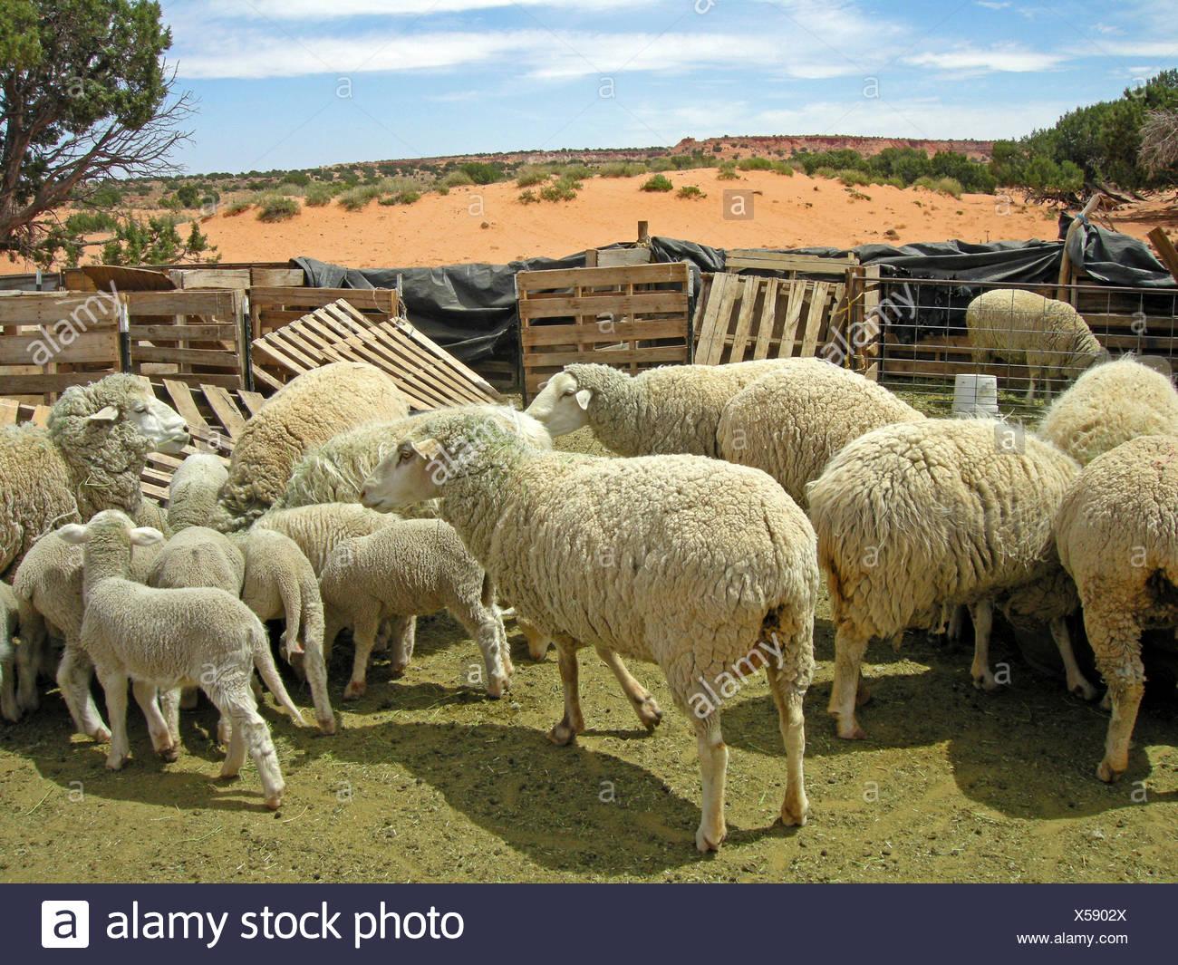 farm sheep (pl.) farm - Stock Image
