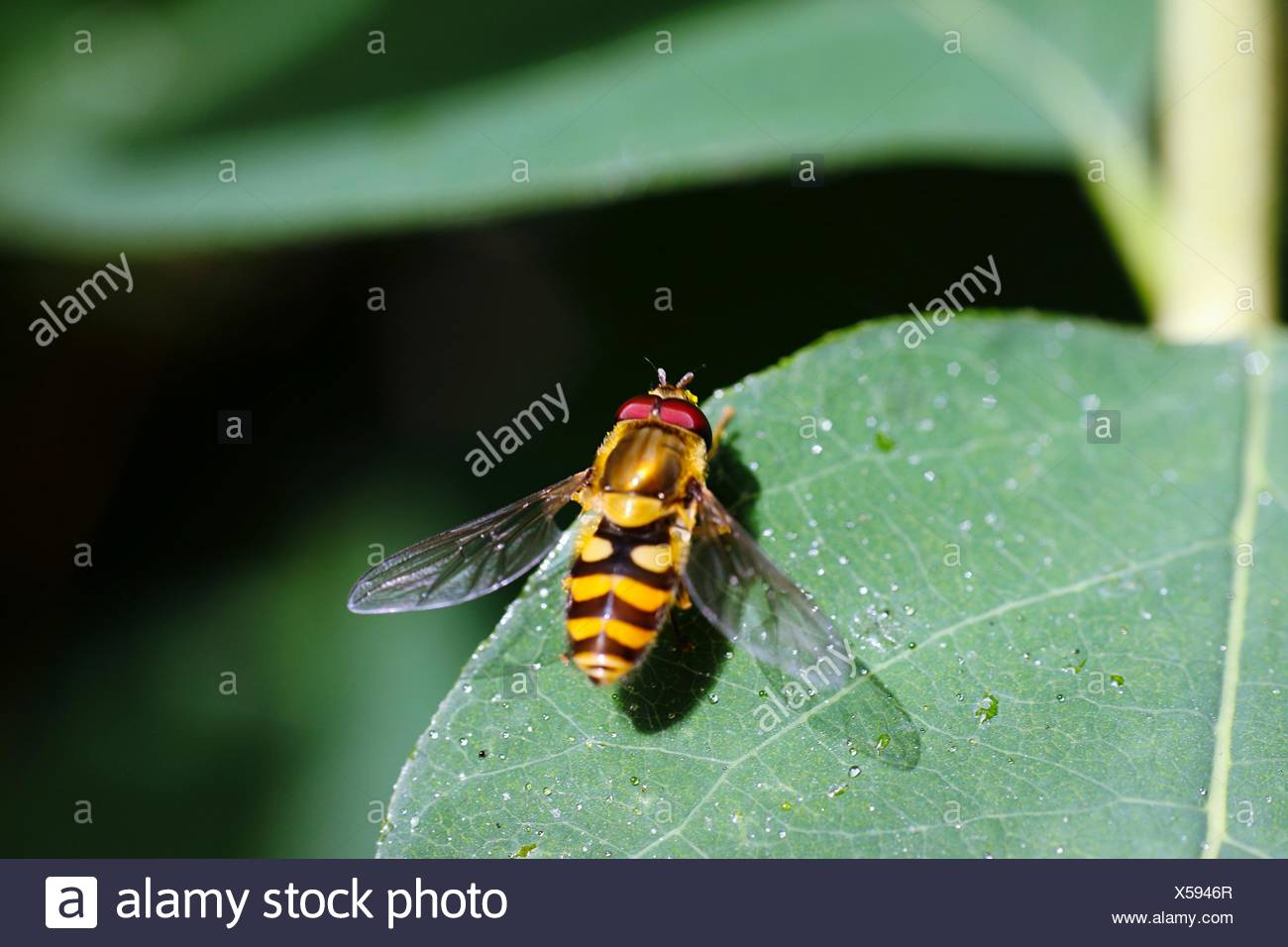 Close-Up Of Honey Bee On Leaf - Stock Image