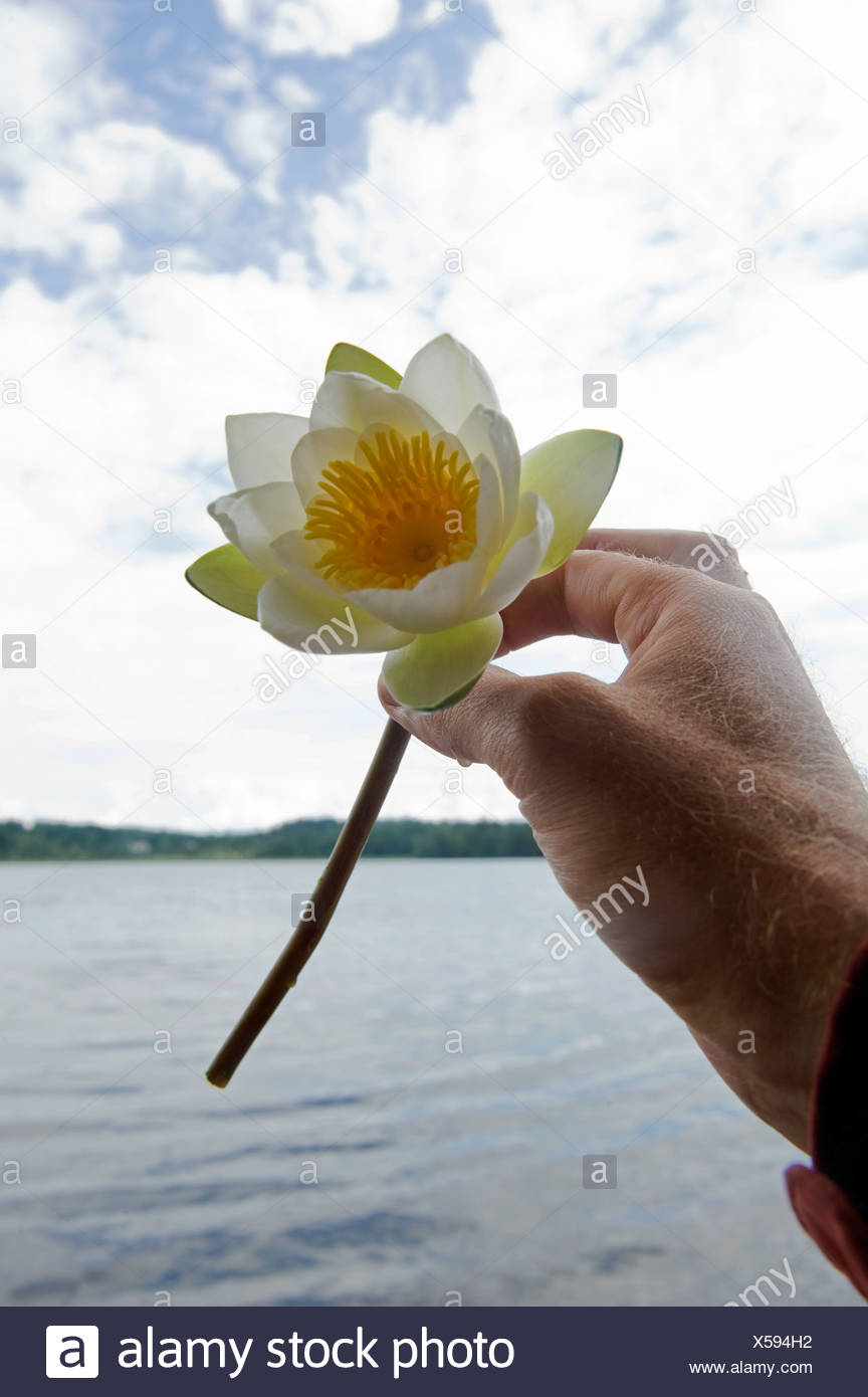 Hold Flower Lily Stock Photos Hold Flower Lily Stock Images Alamy