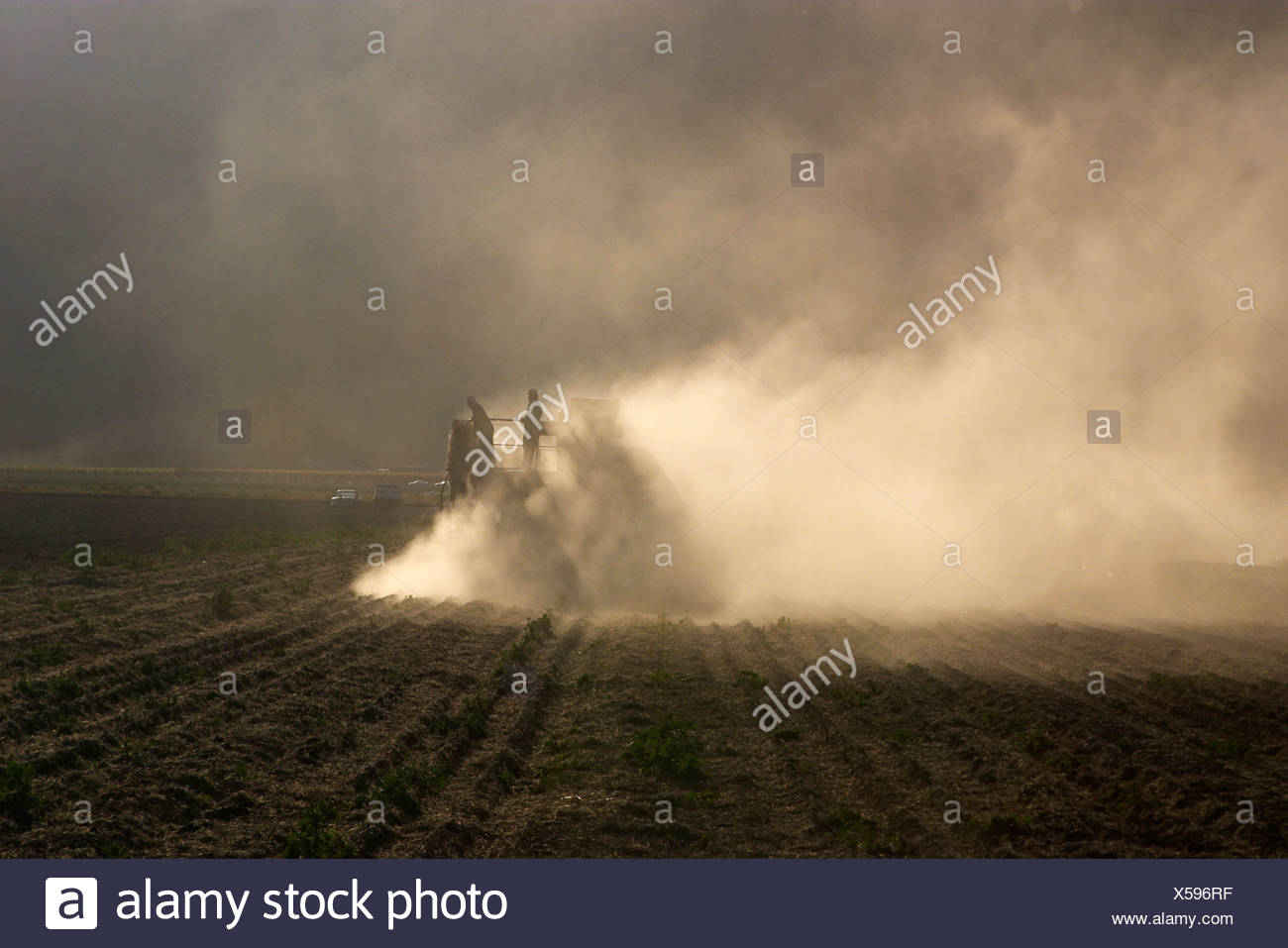 Harvesting dry beans; a dry bean thresher is pulled by a tractor as it harvests windrowed dry beans / Salinas Valley, California - Stock Image