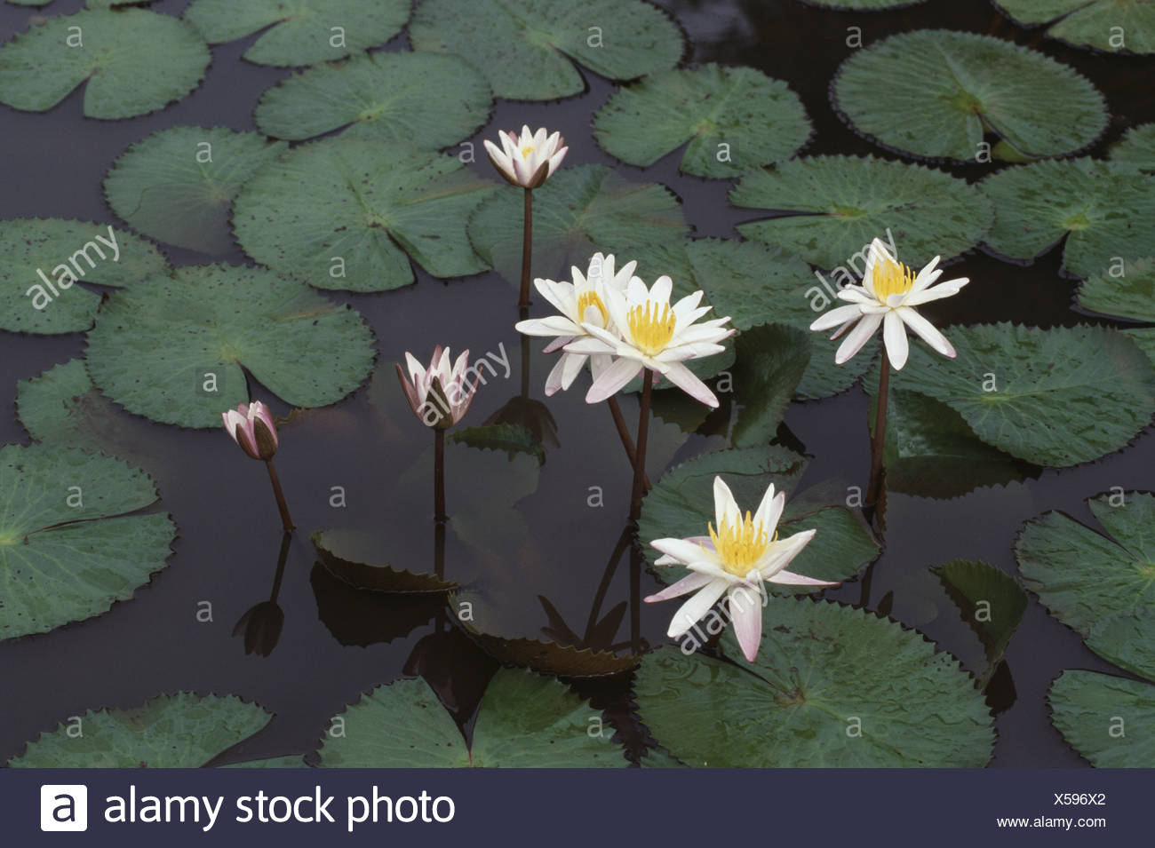 Water lilies in pond tamil stock photos water lilies in pond tamil water lilies in a pond tamil nadu india stock image izmirmasajfo