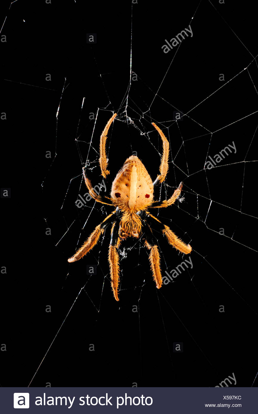 orbweavers, orb-weaving spiders (broad-bodied orbweavers) (Araneidae), spider in its web, New Caledonia, Il des Pins - Stock Image
