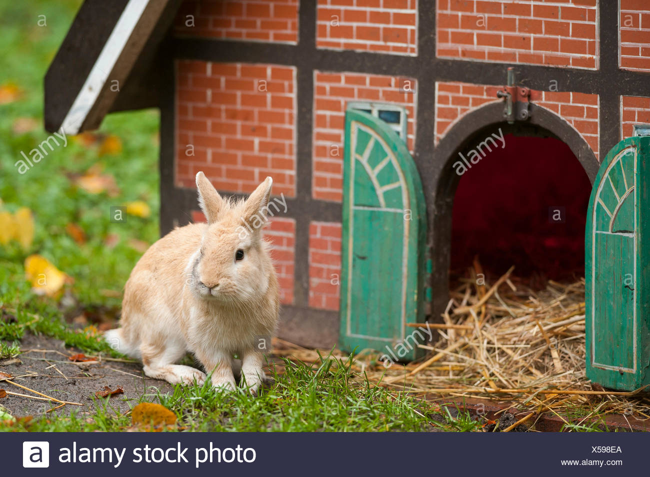 Domestic Rabbit (Oryctolagus cuniculus f. domestica) in front of a half-timbered house as a hutch, Hamburg - Stock Image