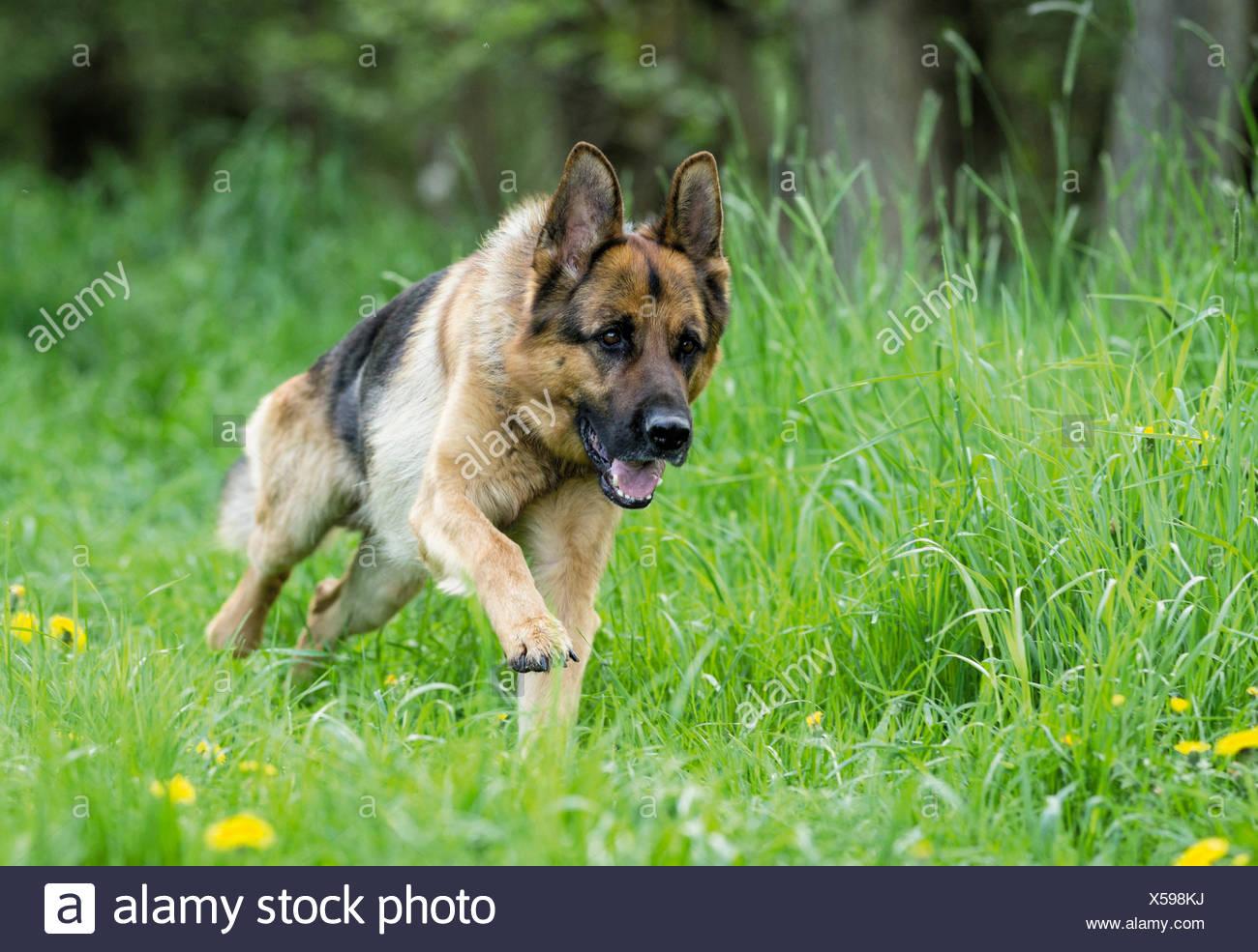 German Shepherd, Alsatian Adult dog running meadow Stock Photo