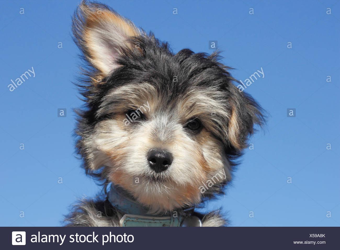 Yorkie Mixed Breed Puppy Stock Photo 278644819 Alamy