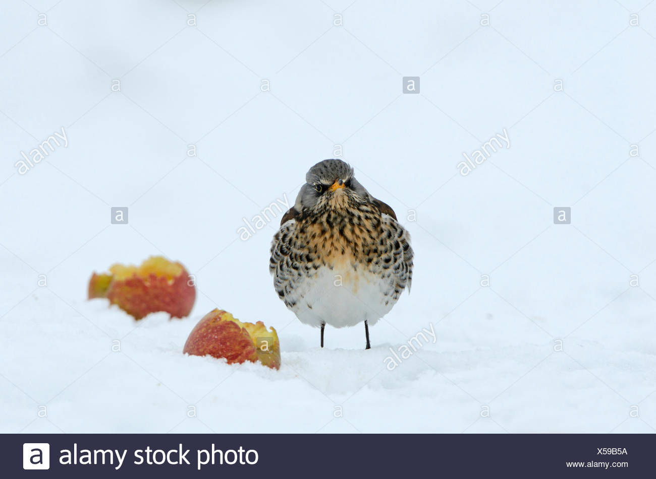Fieldfare  Turdus pilaris feeding on apples in snow Norfolk - Stock Image