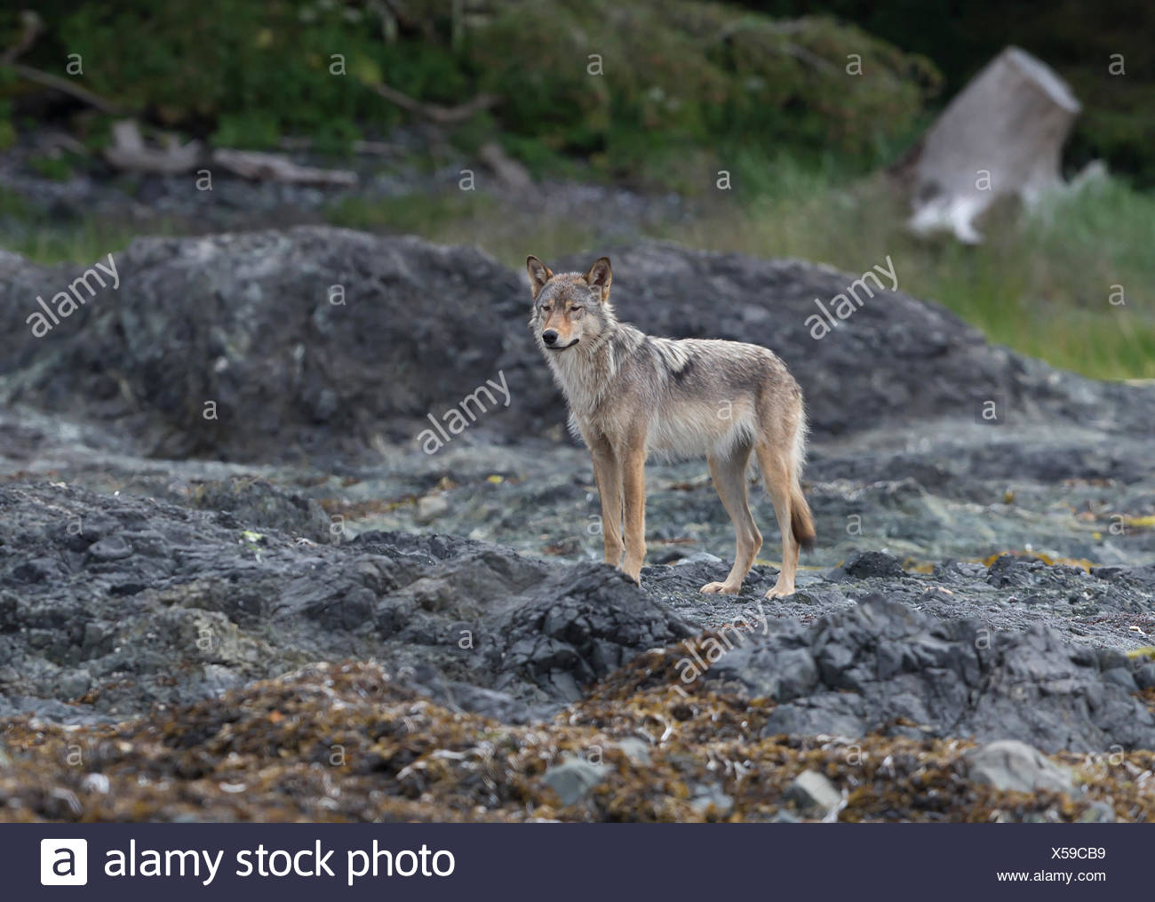 A Vancouver Island wolf pauses while walking along the shoreline on an island near Kyuquot, Vancouver Island, British Columbia, Canada - Stock Image
