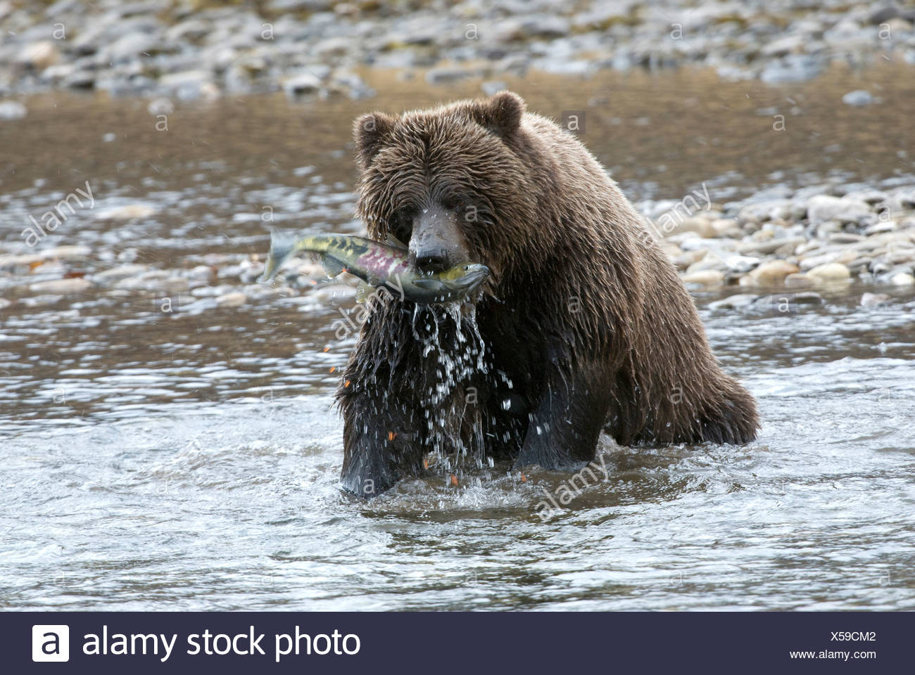 Wild Grizzly bear catching chum or dog salmon from Fishing Branch River in early winter. Fishing Branch Ni'iinlii'njik Park Yuko - Stock Image