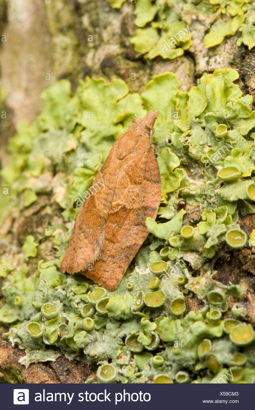 A Dark Fruit-tree Tortrix (Pandemis heparana) resting on a lichen covered branch. - Stock Image