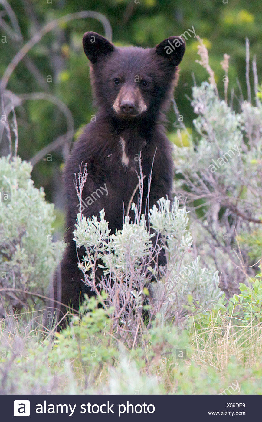 A black bear cub looks for where mother went. - Stock Image