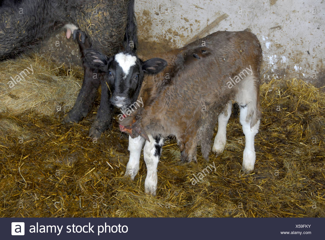 Calf skin fostering. cattle cow cows bovid bovidae domestic domesticated farm farms farming hoofed herbivore herbivores mammal - Stock Image