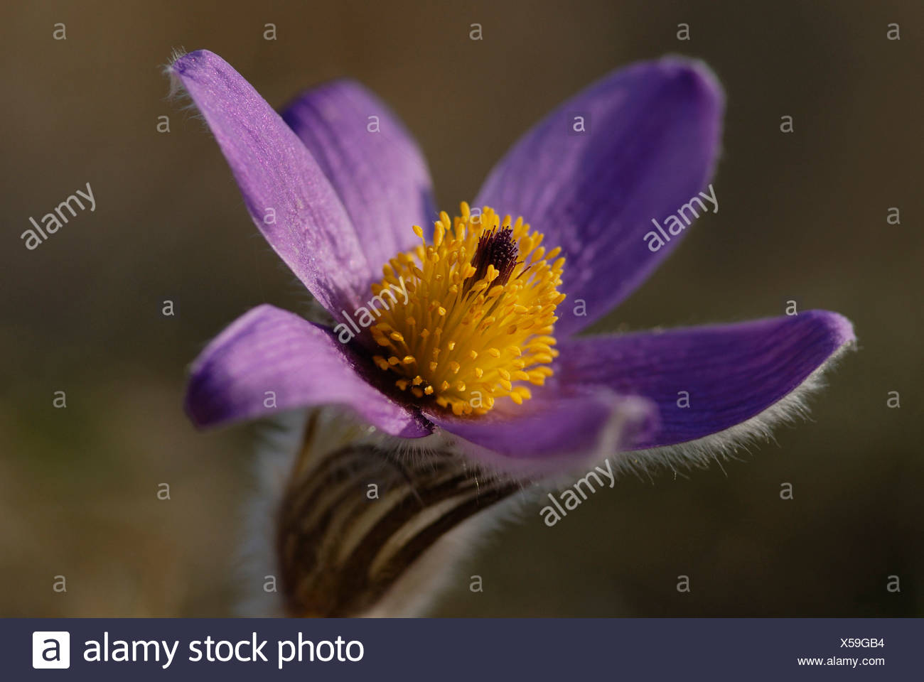 Pasque flower (Pulsatilla) - Southern Germany - Stock Image
