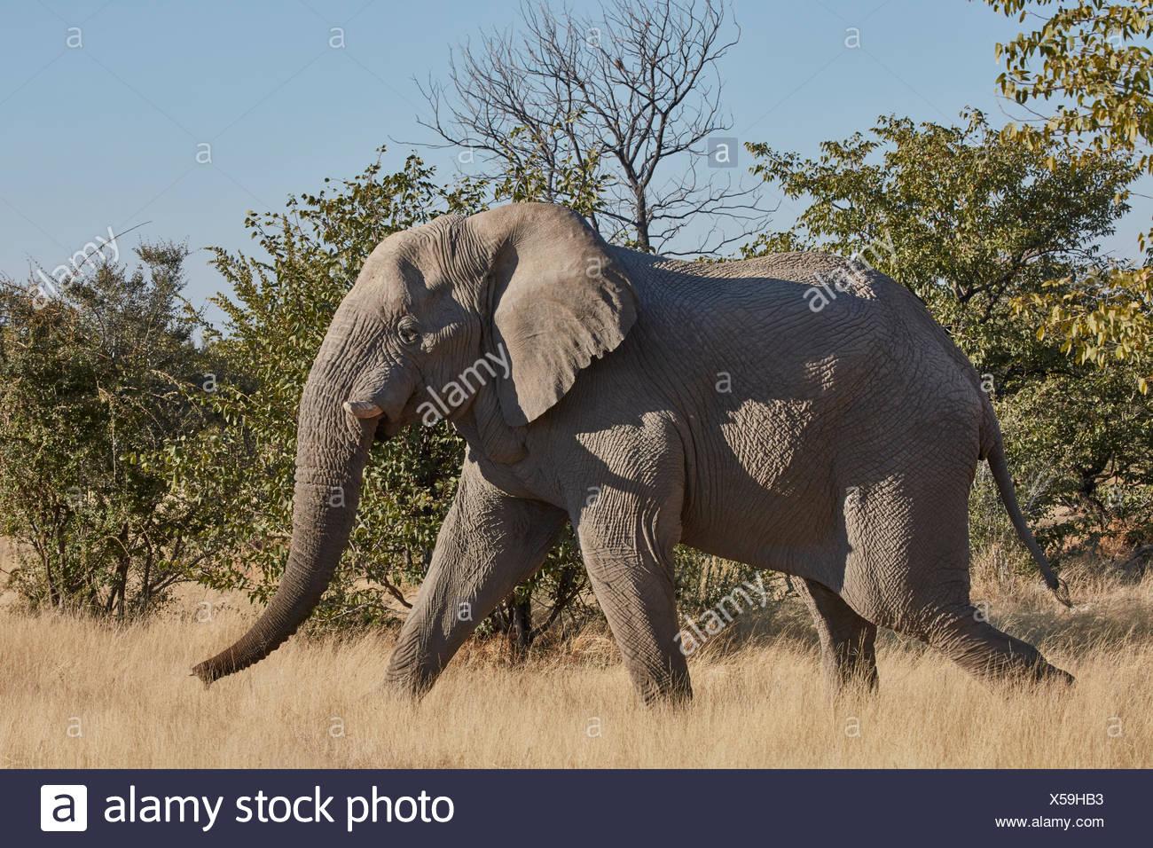 African elephant, Loxodonta africana, walking through grassland. - Stock Image