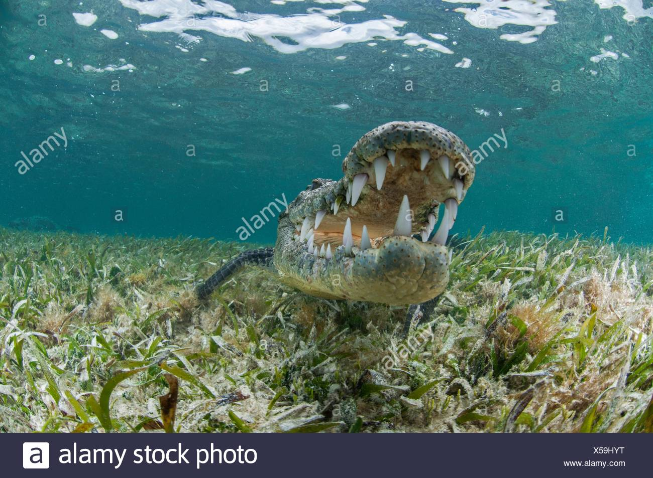 Underwater front view of crocodile on seagrass, open mouthed showing teeth, Chinchorro Atoll, Quintana Roo, Mexico - Stock Image