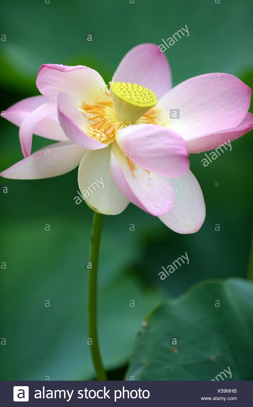 A Close Up Shot Of A Lotus Flower Stock Photo 278652903 Alamy