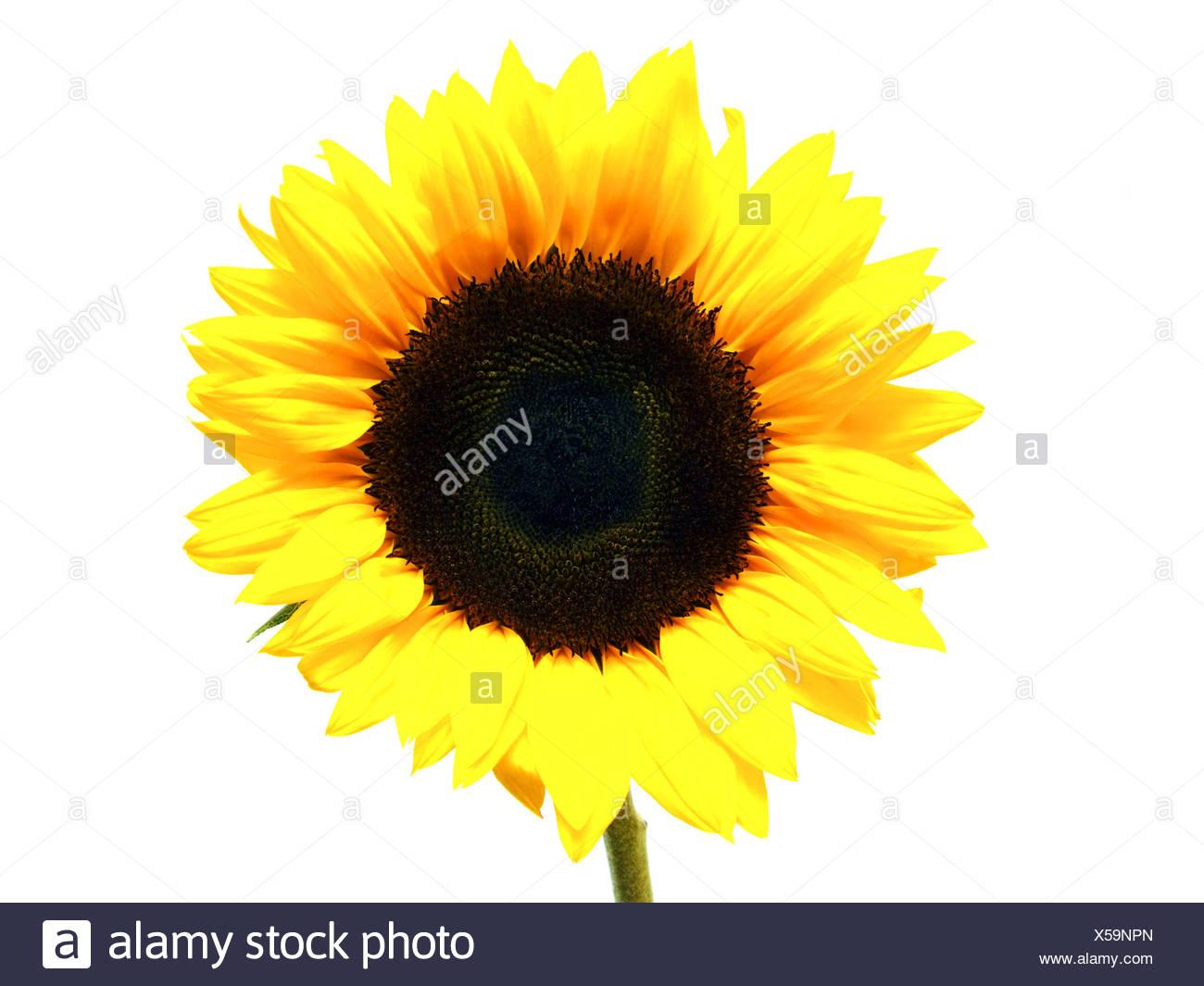 Sonnenblume / sunflower (Helianthus annuus) - Stock Image