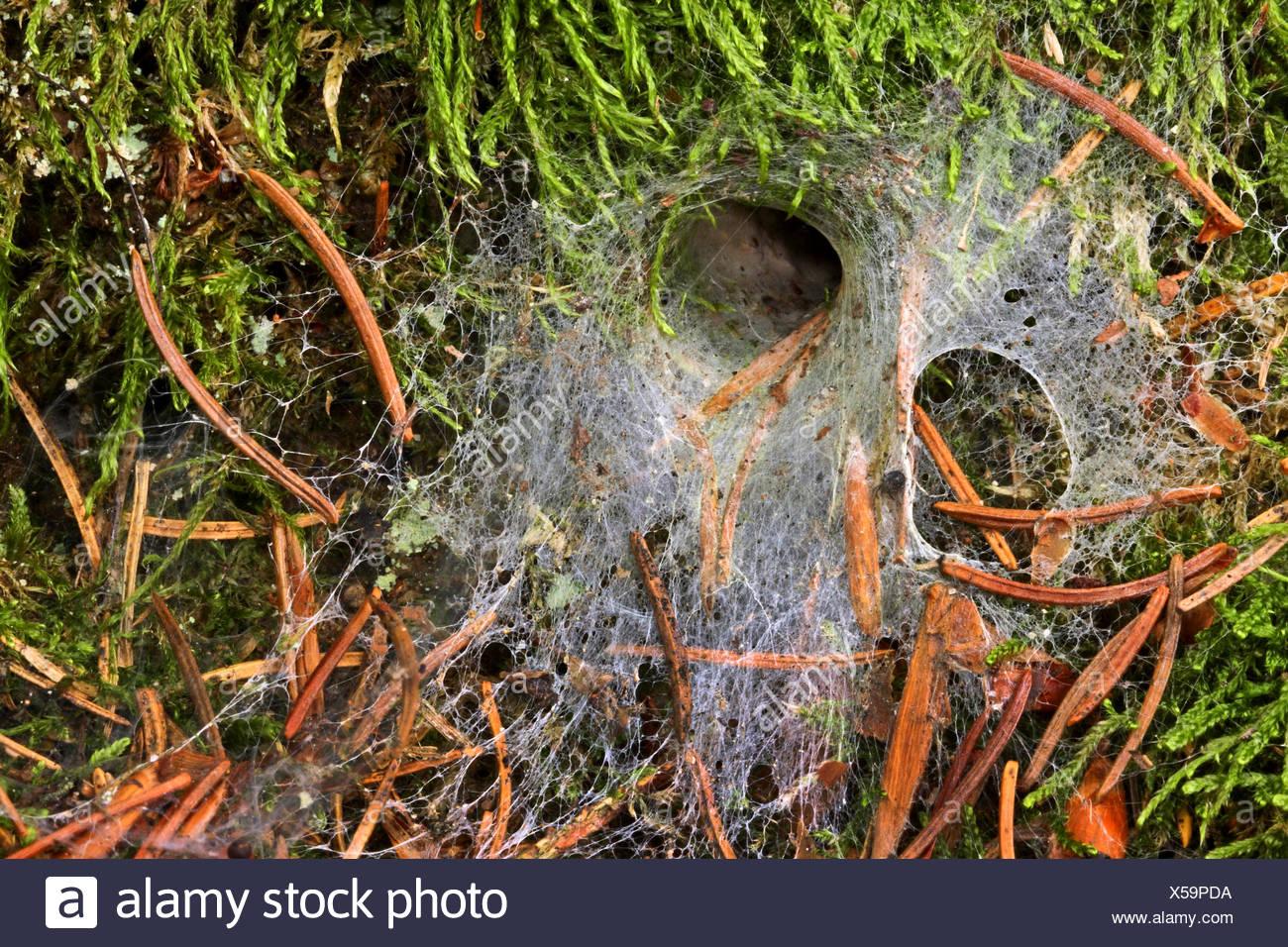 Erd-Finsterspinne, Erdfinsterspinne, Waldboden-Finsterspinne, Waldbodenfinsterspinne, Trichternetz-Spinne, Trichternetzspinne (C - Stock Image