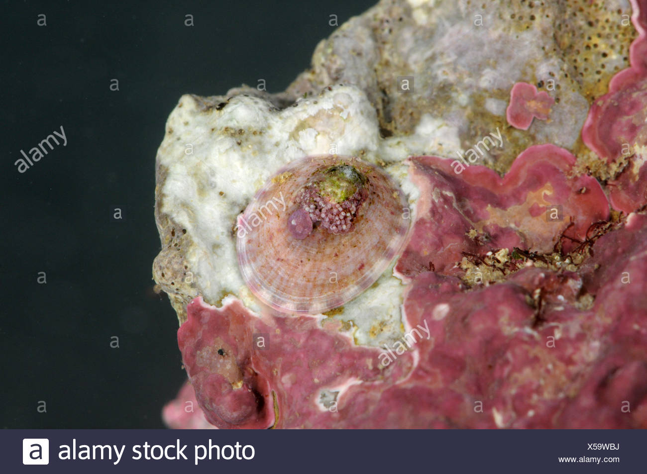 White Tortoiseshell Limpet - tectura virginea - Stock Image