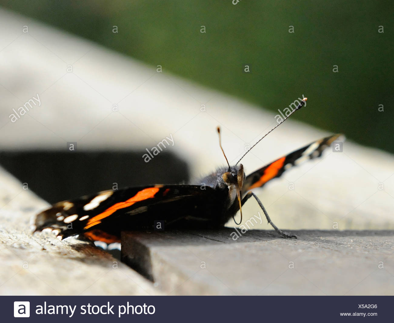 A common British red admiral butterfly showing its probosis - Stock Image