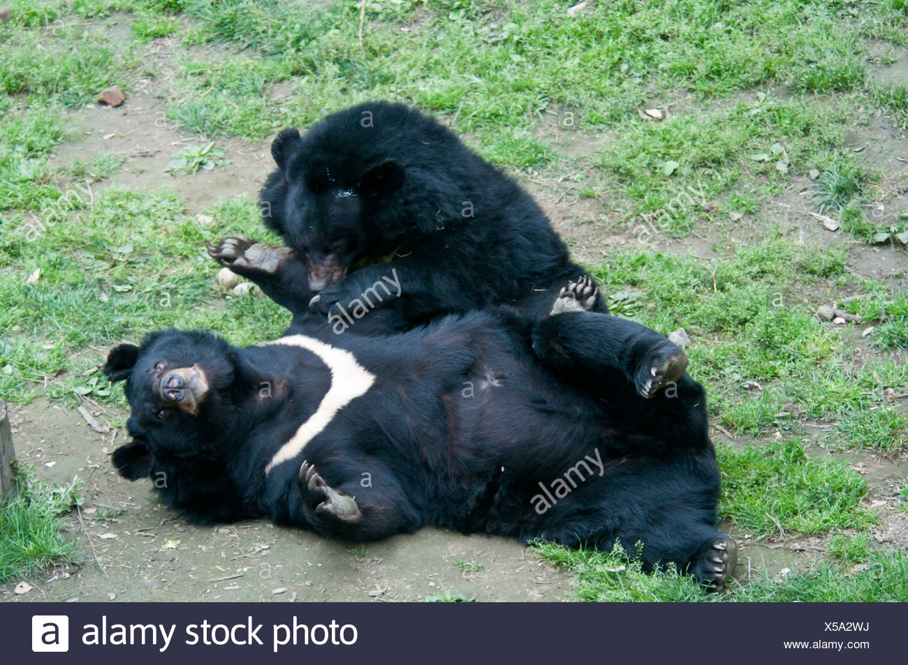 Asian black bears (Ursus thibetanus), Chengdu, China Stock Photo