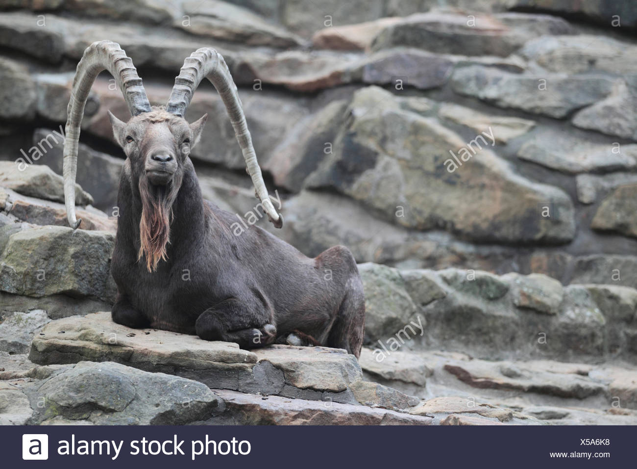 Portrait of a Siberian ibex, Capra sibirica, a species of ibex that lives in central Asia. It has traditionally been treated as a subspecies of the Alpine ibex, and whether it is specifically distinct from other ibex is still not entirely clear. - Stock Image