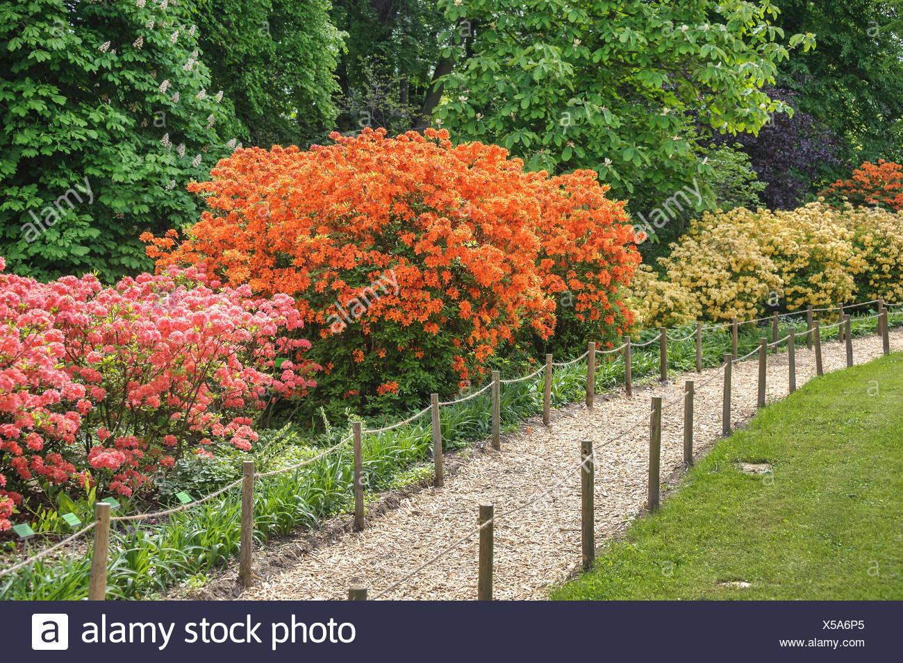 rhododendron (Rhododendron 'Golden Eagle', Rhododendron Golden Eagle), cultivar Golden Eagle, Poland, Niederschlesien, Arboretum Woislowitz - Stock Image