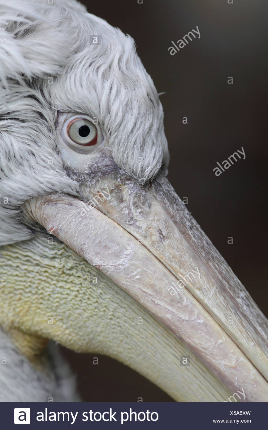 Portrait of a Dalmatian pelican, Pelecanus crispus. - Stock Image