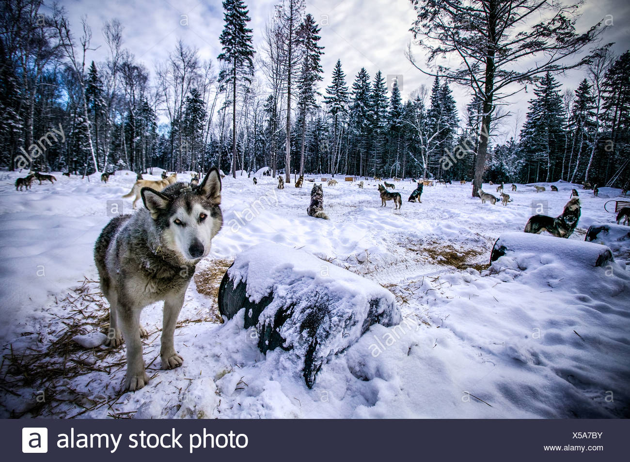 Portrait of wolf in forest clearing, Sacacomie, Quebec, Canada - Stock Image