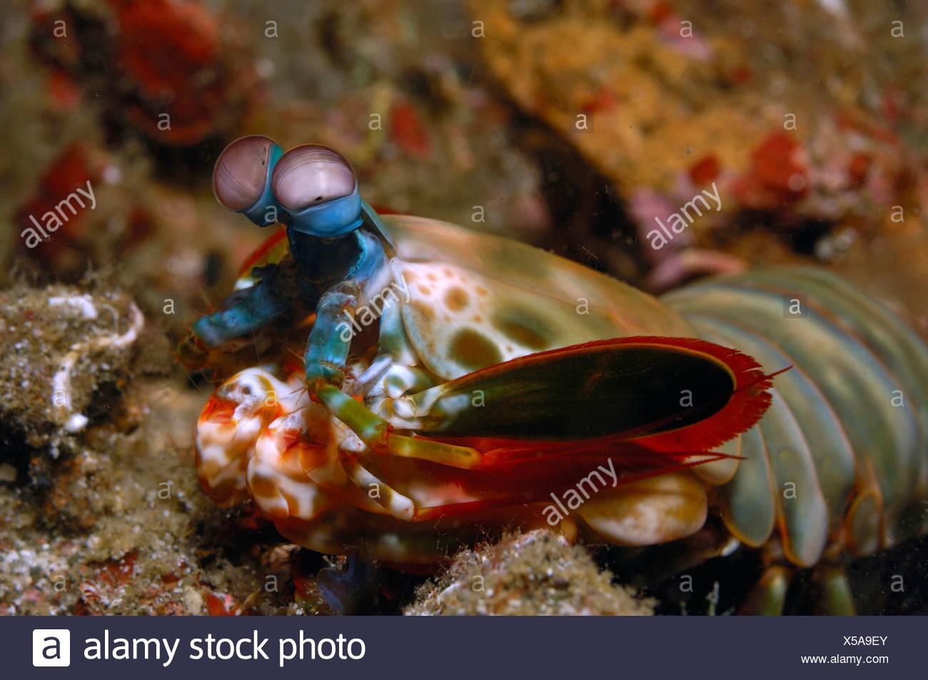 Mantis Shrimp, Odontodactylus scyllarus, Lembeh Strait, Sulawesi, Indonesia - Stock Image