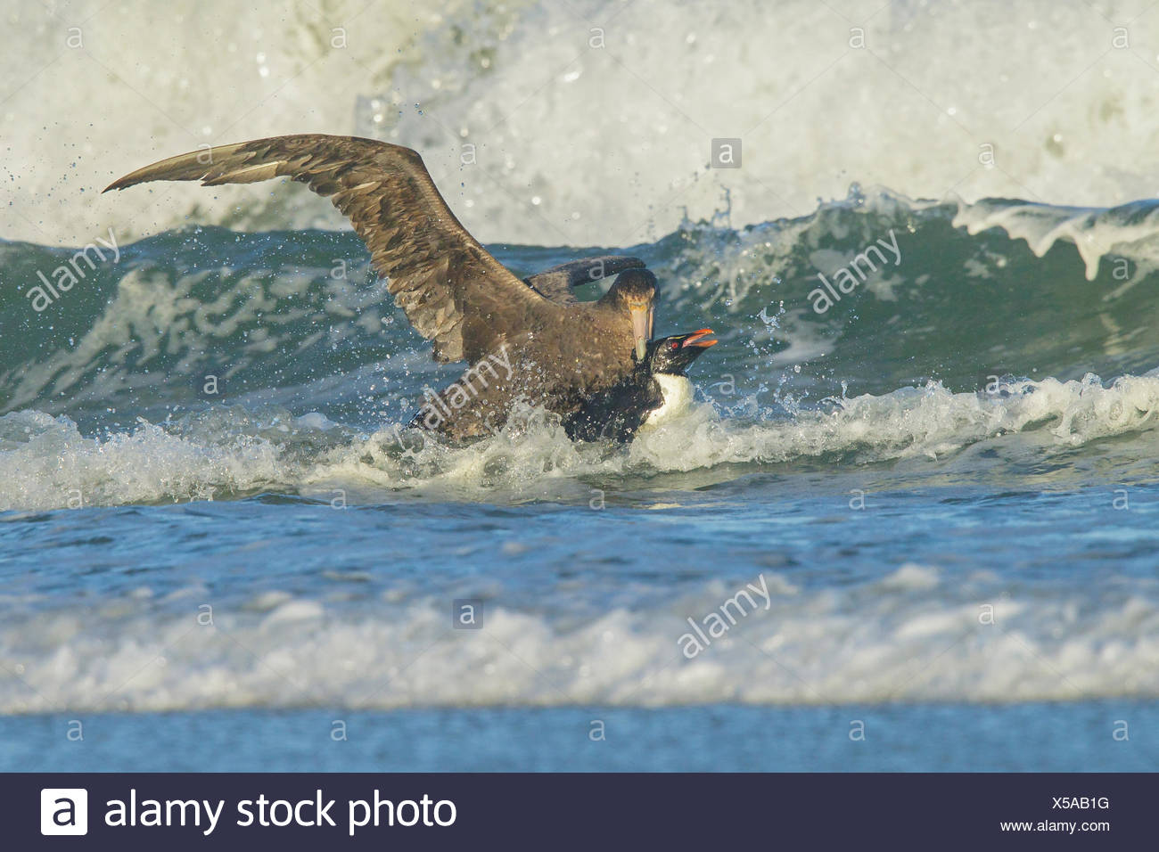 A Giant Petrel attacks a Rockhopper Penguin (Eudyptes chrysocome) as it emerges from the ocean in the Falkland Islands. - Stock Image