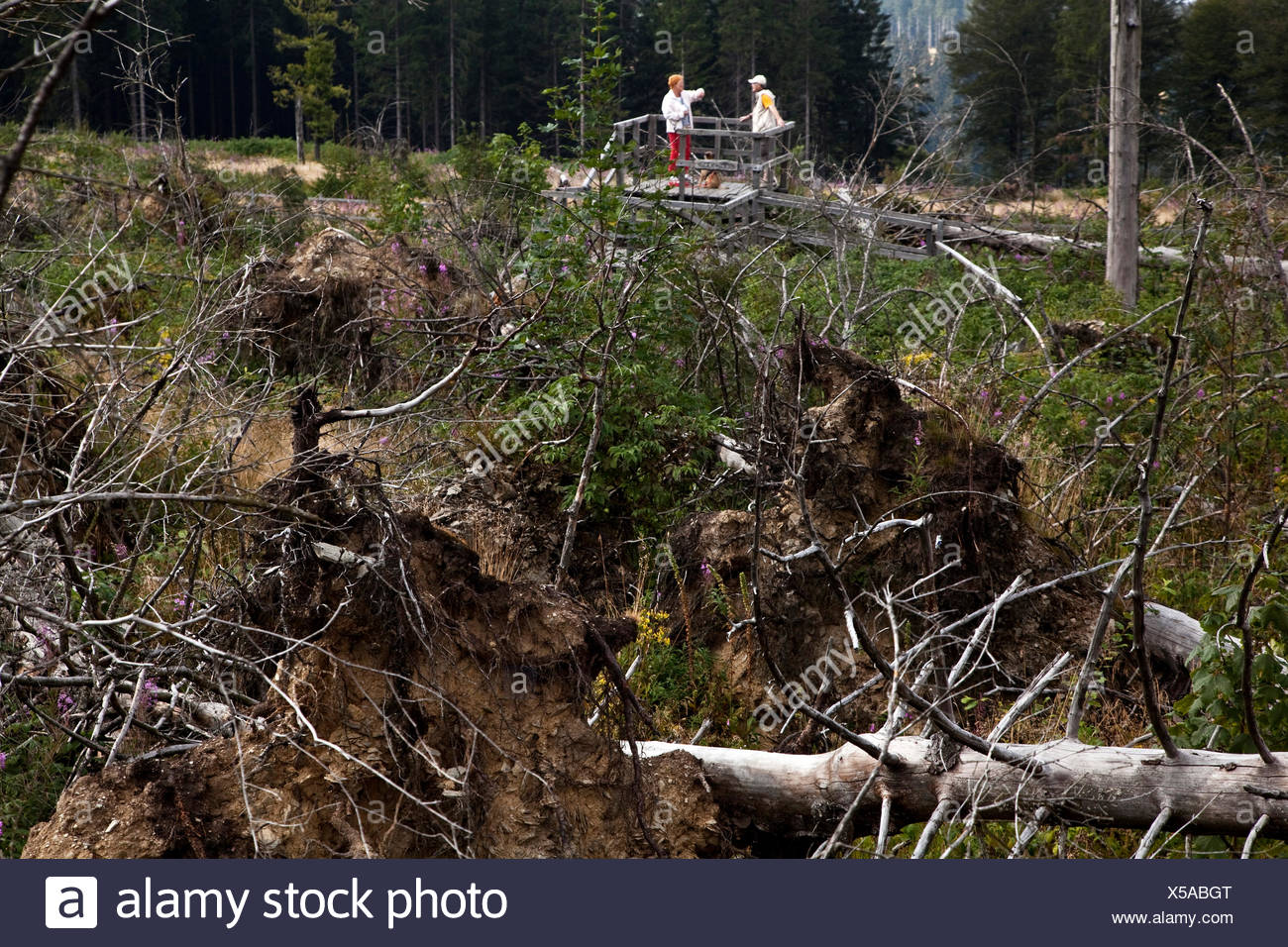 two people looking at storm losses at Kyrill path, Germany, North Rhine-Westphalia, Sauerland, Schmallenberg - Stock Image