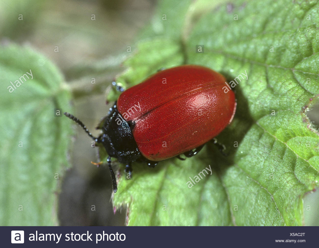 Poplar Leaf Beetle - Chysomela populi - Stock Image