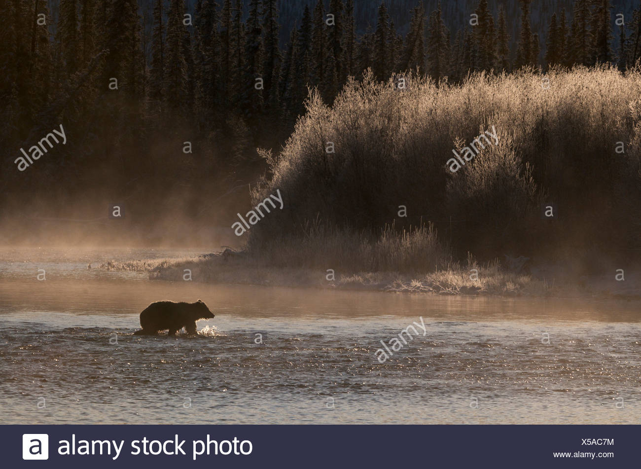 Grizzly Bear (Ursus arctos) crossing Fishing Branch River, Ni'iinlii Njik Ecological Reserve, Yukon Territory, Canada - Stock Image