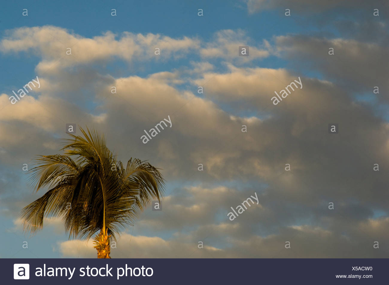 Palm tree and the partly cloudy covered, blue sky - Stock Image