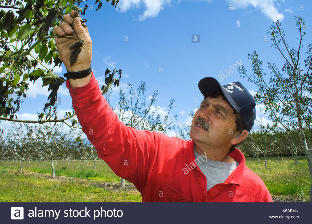 A walnut grower inspects the damage to his crop caused by a heavy unusual Spring freeze / near Red Bluff, California, USA. - Stock Image