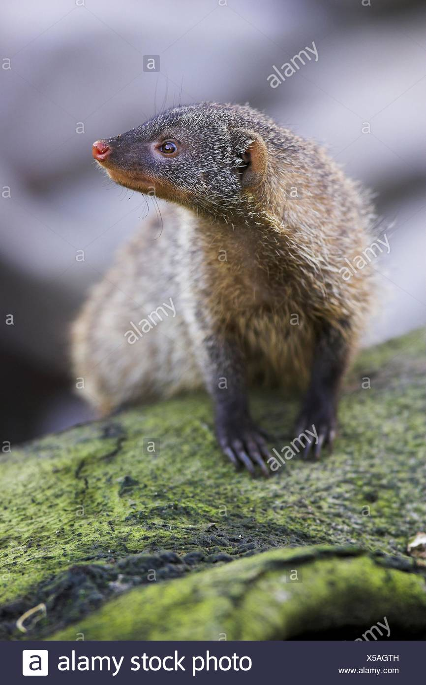 branded mongoose - Stock Image