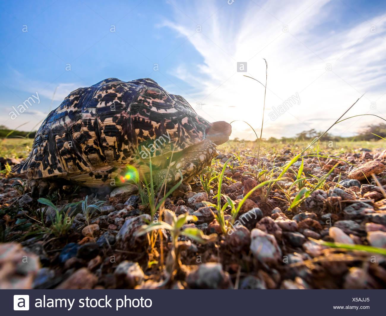 Namibia, Outjo, Ongava Wild Reservat, leopard tortoise at backlight - Stock Image