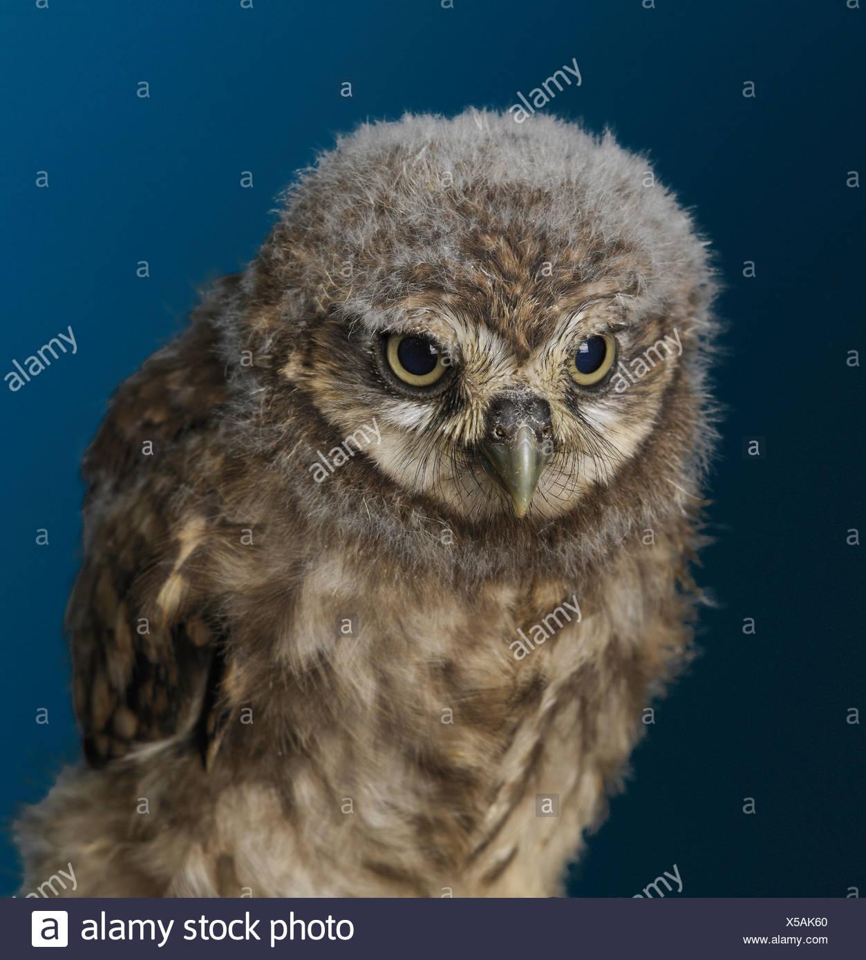 Baby Owl - Stock Image