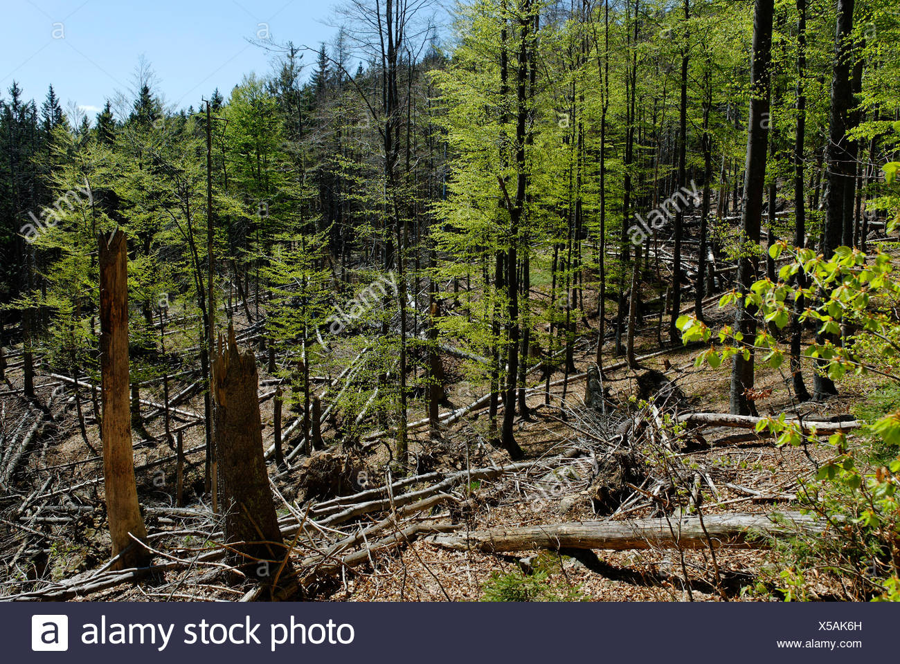 Damages to the forest at Rachel mountain, Bavarian Forest National Park, Lower Bavaria, Germany, Europe Stock Photo
