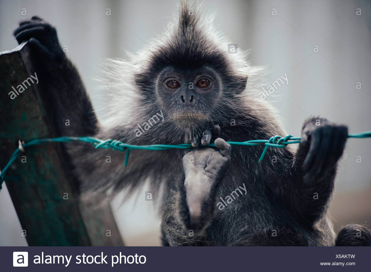 Close-Up Of Monkey Hanging On Barb Wire - Stock Image