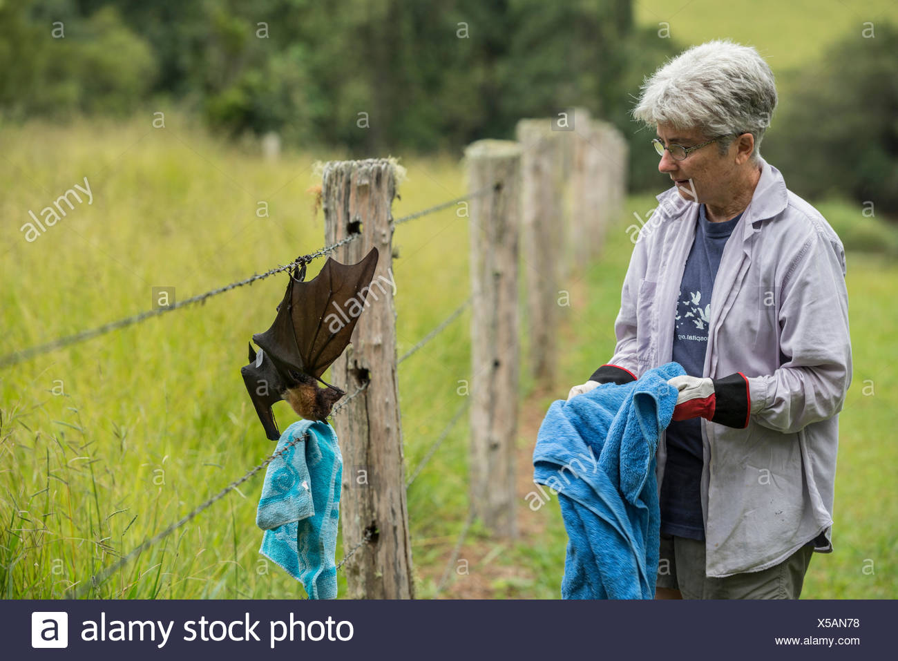 Tolga Bat Hospital director Jenny Maclean rescuing, Spectacled flying fox (Pteropus conspicillatus) caught in barbed wire fence. - Stock Image