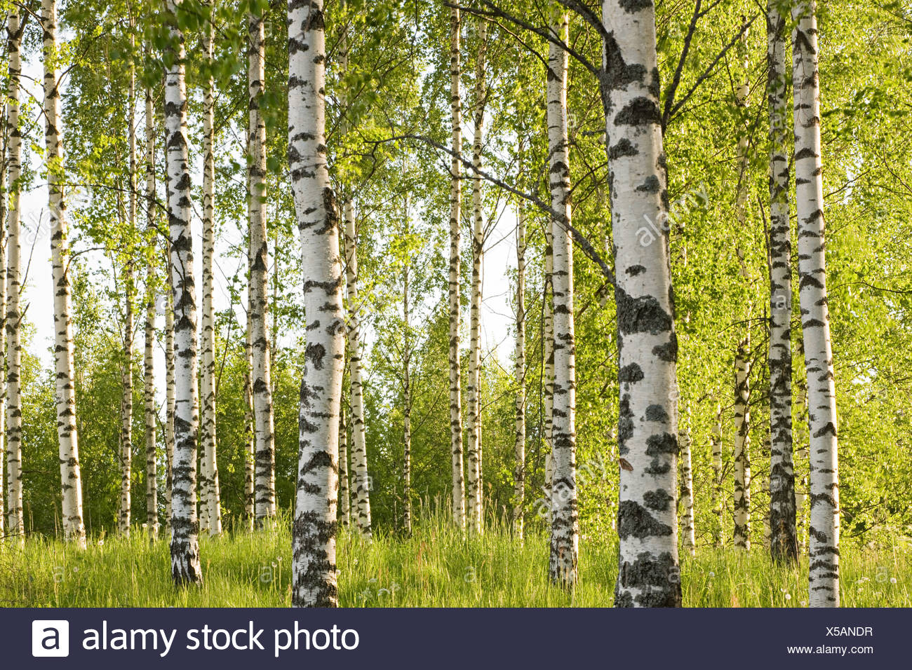 Forest of birch trees - Stock Image