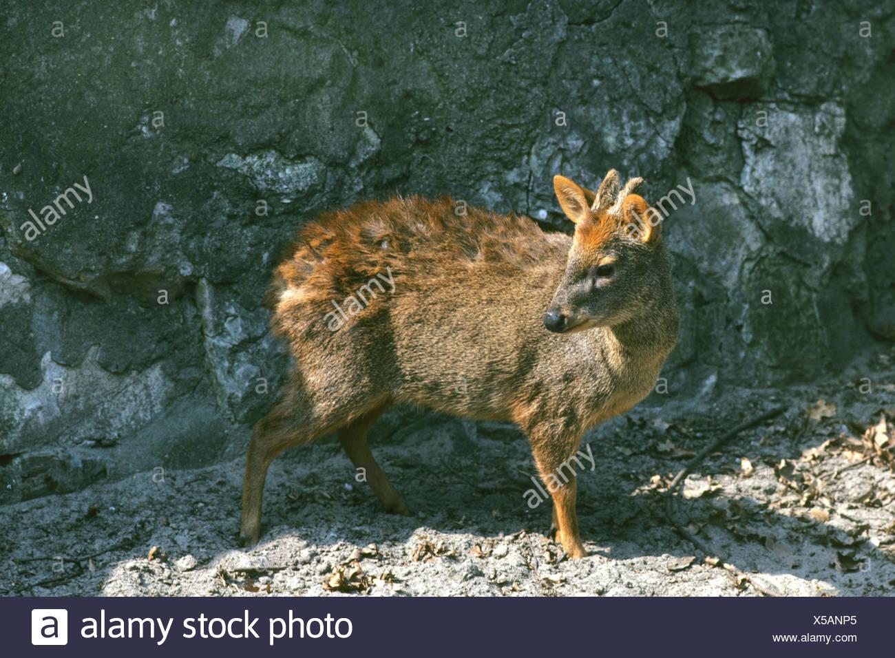 Chilean Pudu, Southern Pudu (Pudu puda), in outdoor enclosure - Stock Image