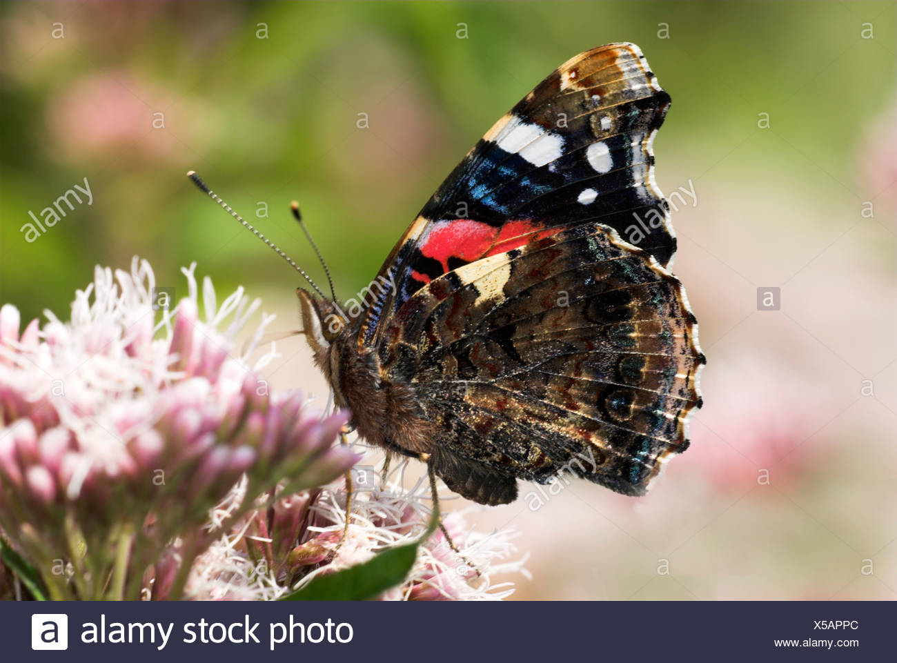 Red Admiral Butterfly Vanessa Atalanta UK - Stock Image