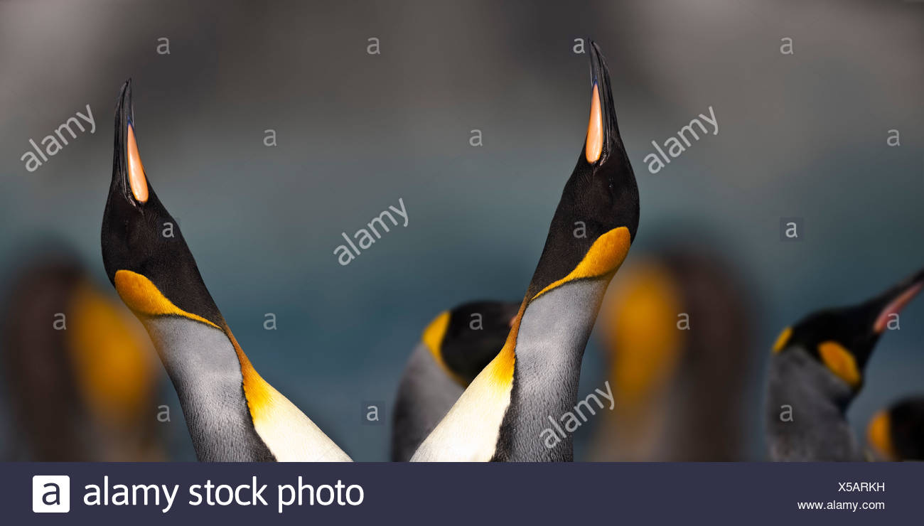King Penguins displaying at breeding colony. Gold Harbour, South Georgia, South Atlantic. - Stock Image